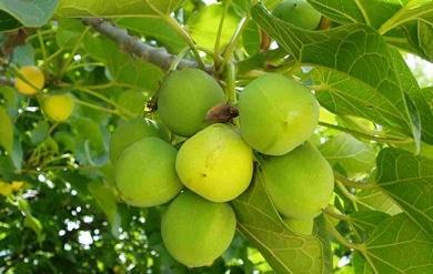 Envenenamiento y toxicidad de plantas venenosas por for Planta venenosa decorativa