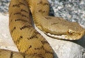 Mordeduras de Serpientes Venenosas