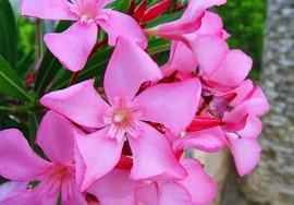 flores de adelfa