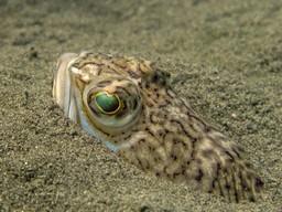 escorpion de mar