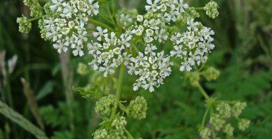Plantas tóxicas por vía oral